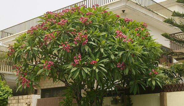 Plumeria Tree - Photo Courtesy of Wikipedia