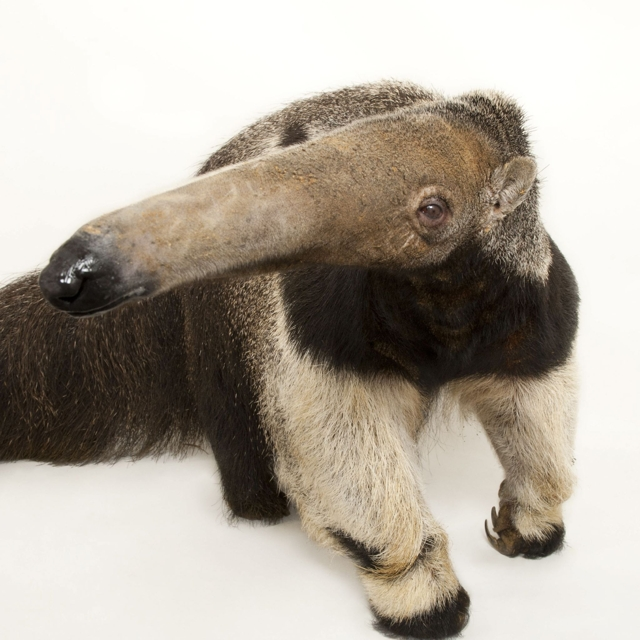 Giant Anteater Photo Courtesy of National Geographic