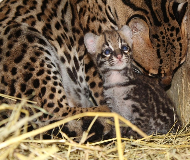 Ocelot -Photo Courtesy of VictoriaAdvocate