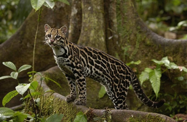 Ocelot Photo Courtesy of Animal Talk