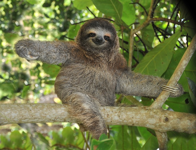 Three-Toed Sloth- Photo Courtesy of Queen of the Forest